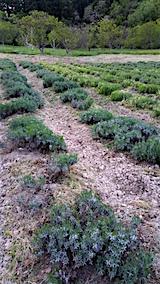 20160515ラベンダー畑の様子草取り後4