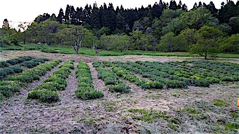 20160515草刈り草取り後のラベンダー畑の様子1