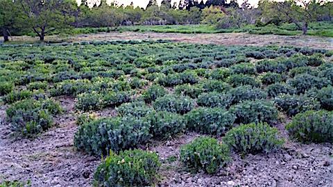 20160515草刈り草取り後のラベンダー畑の様子2