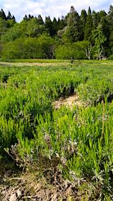 20160516ラベンダー畑の草取り