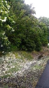 20160601山へ向かう途中の様子オオデマリ