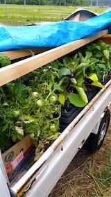20160601会津の野菜苗を移動