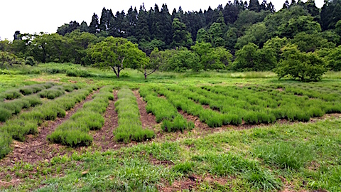 20160601ラベンダー畑の様子1