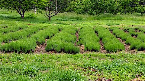 20160601ラベンダー畑の様子4
