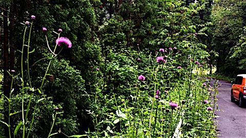 20160608山へ向かう途中の様子あざみの花6