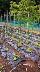 20160608野菜畑の様子