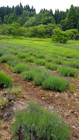 20160608ラベンダーの畑