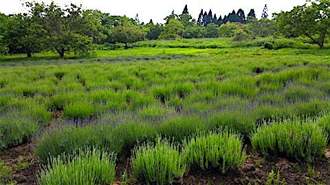 20160608ラベンダー畑の様子3