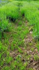 20160608ラベンダー畑が草ボウボウ