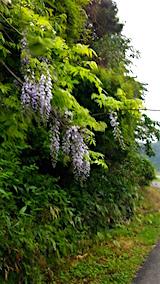 20160609山へ向かう途中の様子遅咲きの藤の花