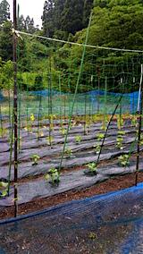 20160609野菜畑の様子1