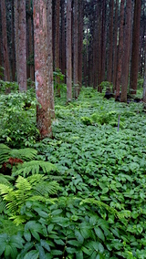 20160609山の様子杉林内のミズの群生