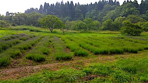 20160609ラベンダー畑の様子1