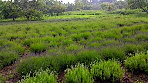 20160609ラベンダー畑の様子2