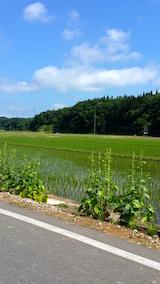 20160610山へ向かう途中の様子田んぼ