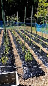 20160610野菜畑の様子