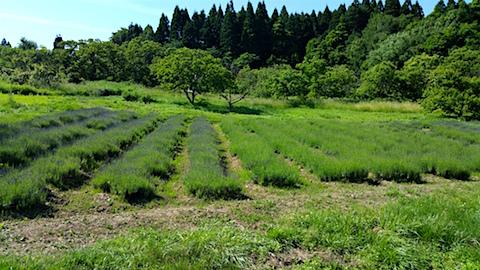 20160610ラベンダー畑の様子1