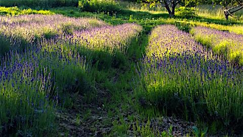 20160610早咲きラベンダー