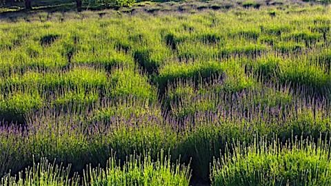 20160610ラベンダー畑の様子4
