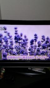 20160610ラベンダーの開花を伝えるNHKテレビ2