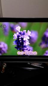 20160610ラベンダーの開花を伝えるNHKテレビ3