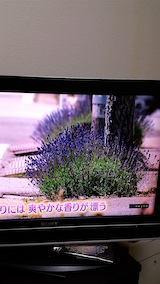 20160610ラベンダーの開花を伝えるNHKテレビ4