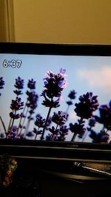 20160610ラベンダーの開花を伝えるNHKテレビ5