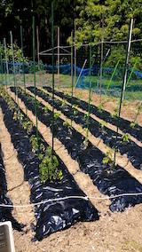 20160611野菜畑