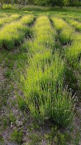 20160611ラベンダー畑の草刈り前1