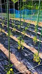 20160612野菜畑