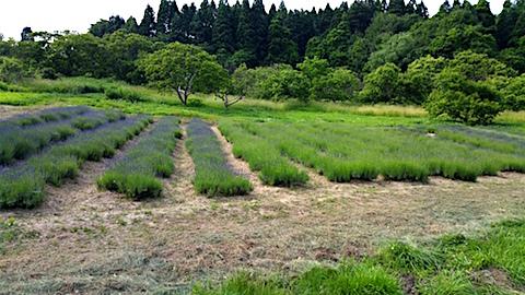 20160612草刈り前のラベンダー畑の様子