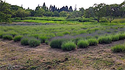 20160612草刈り後のラベンダー畑の様子2