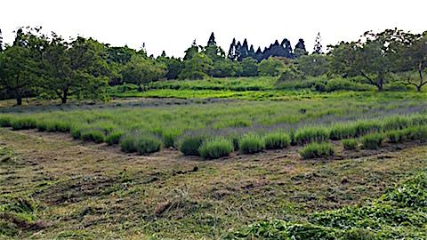 20160612草刈り後のラベンダー畑の様子3