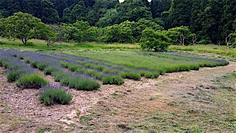 20160612草刈り後のラベンダー畑の様子4