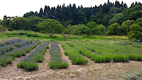 20160612草刈り後のラベンダー畑の様子1