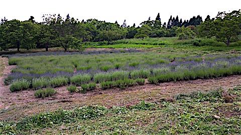 20160612草刈り後のラベンダー畑の様子5