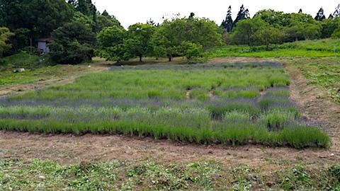 20160612草刈り後のラベンダー畑の様子6
