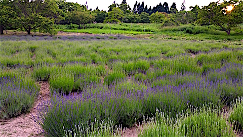 20160612草刈り後のラベンダー畑の様子7