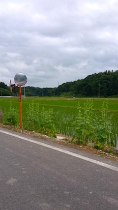 20160614山へ向かう途中の様子田んぼ1