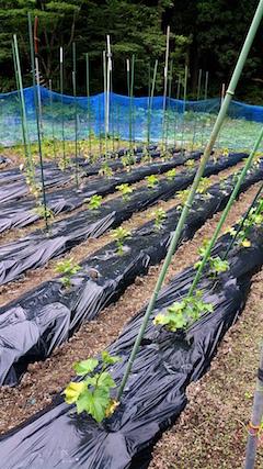 20160614野菜畑