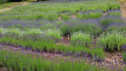 20160614ラベンダー畑の様子5