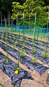 20160615野菜畑