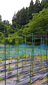 20160615野菜畑に糸を張る