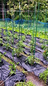 20160628野菜畑