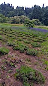 20160628ラベンダー畑の様子1