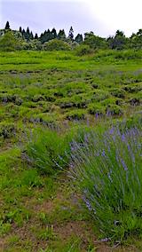 20160628ラベンダー畑の様子2