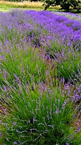 20160628ラベンダー畑の様子3