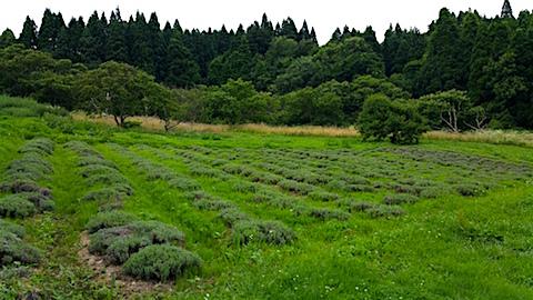 20160716ラベンダー畑の様子