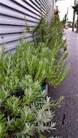 20160909鉢植えのラベンダー