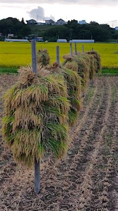 20160909手押し式稲刈り機による稲刈り2